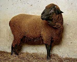 スペインのメリノ羊