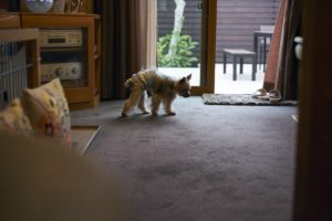 カーペットを歩く犬