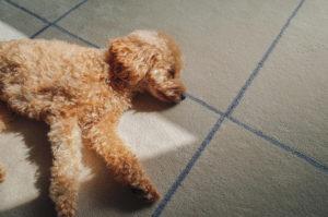 カーペットの上に気持ちよさそうに寝る犬